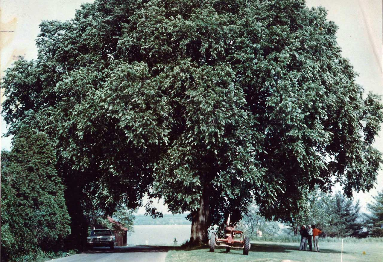 Do you remember the old elm tree near the 9th green?